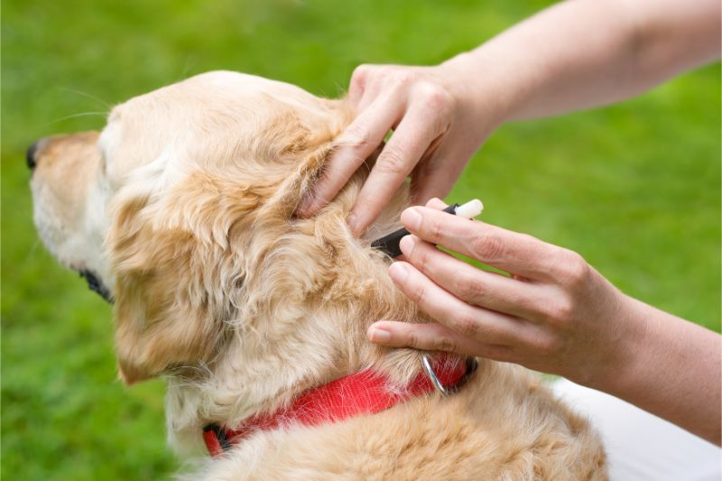 checking for fleas and tick on dog