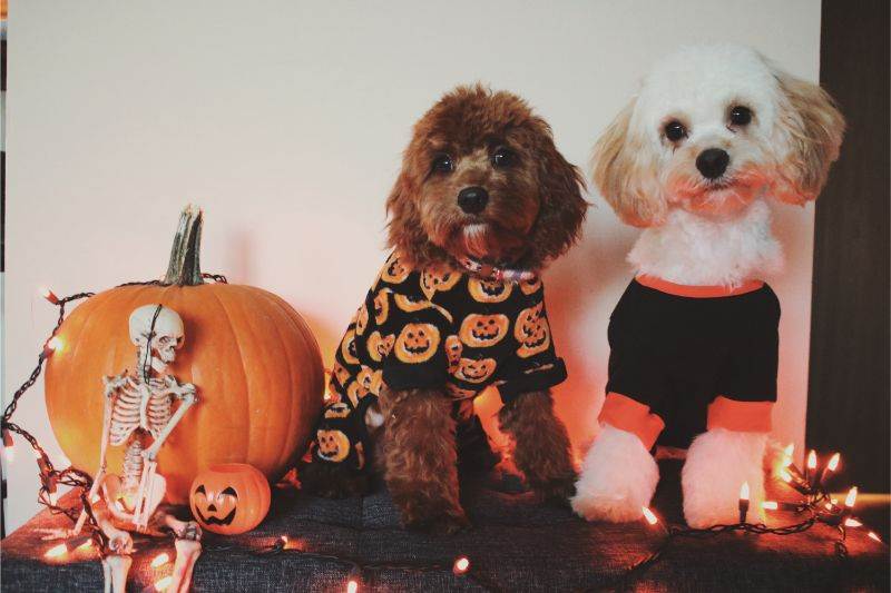Two floofy dogs dressed in Halloween sweaters sit near Halloween decor