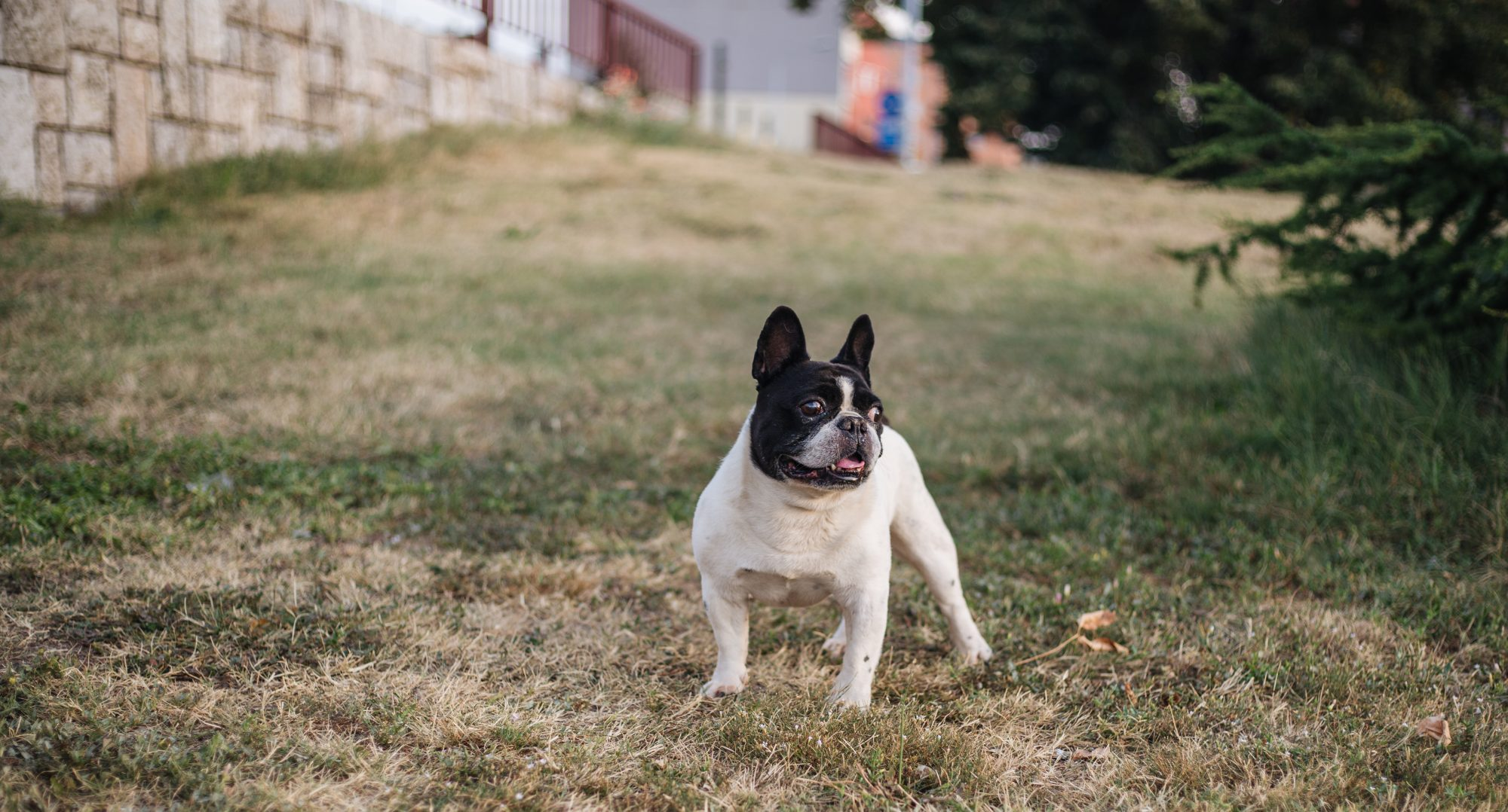 french bulldog in a yard