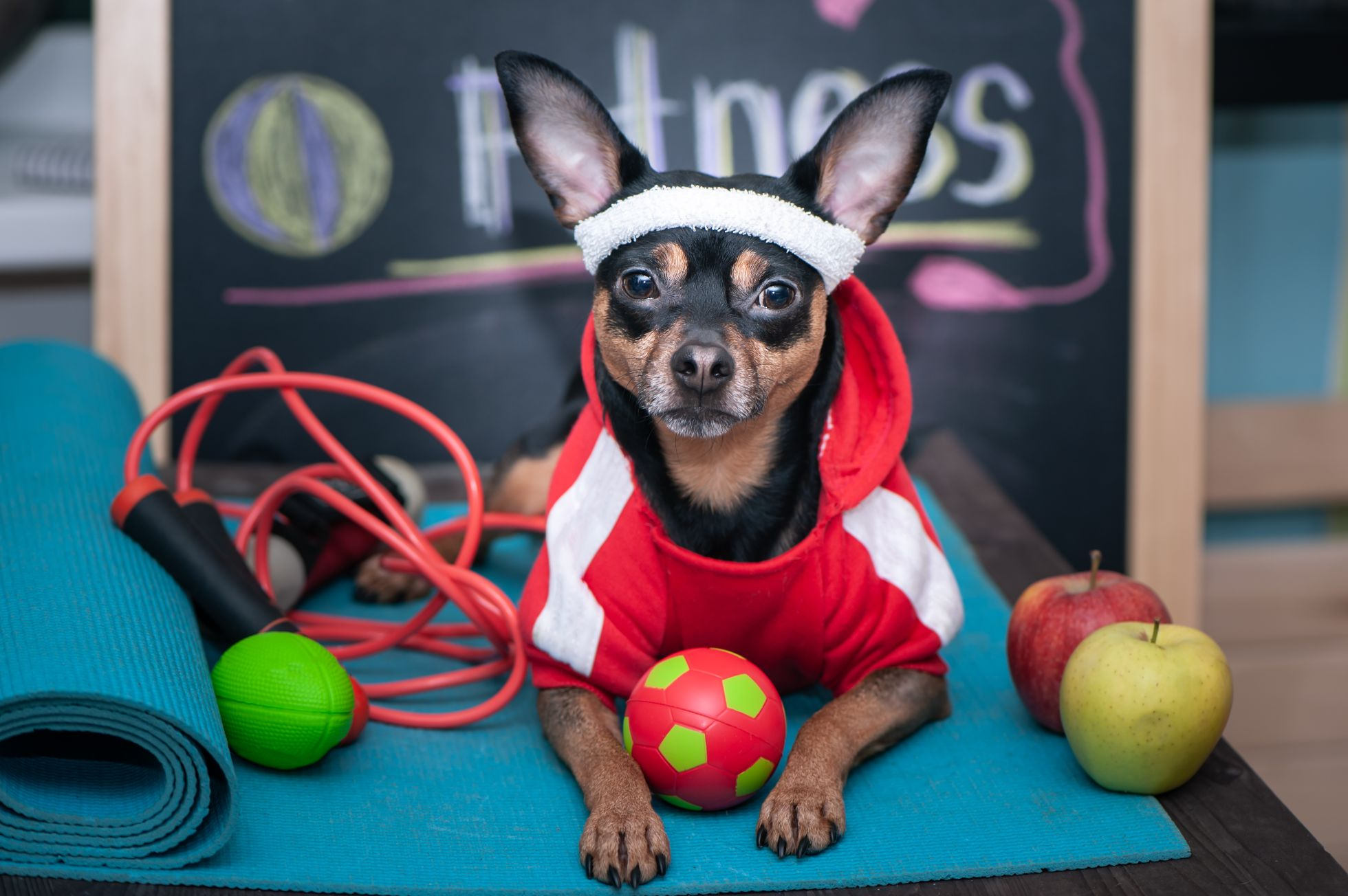 A dog dressed in fitness gear.